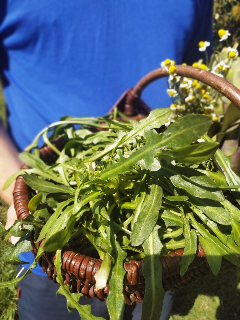 polikala stamnagathi dzika zielenina z KRety